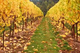 grapevine trees free images landscape vineyard wine road field