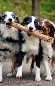 australian shepherd ear types australian shepherd dog breed information pictures