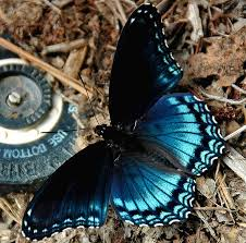 blue butterfly a photo from virginia south trekearth