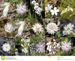 native plants of western australia south west australian white wild flowers collage stock photography
