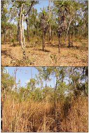 Tropical Savanna Dominant Plants - invasive andropogon gayanus gamba grass alters litter