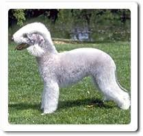 bedlington terrier guide bedlington terrier guide to bedlington terriers kennel com