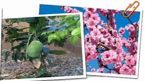 Tropical Fruit Tree Nursery - fruit trees from tropica mango rare and exotic tropical fruit tree