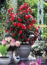 Fragrant Potted Plants Camellia Japonica