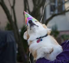 Corgi Birthday Meme - dog hat animals party puppy birthday corgi hats waffles wearing