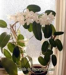 Fragrant Indoor Plants Low Light - best 25 jasmine plant indoor ideas on pinterest best plants for