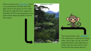 Above The Canopy by The Rainforest Canopy And You Hi I Am Mango The Monkey And I Am