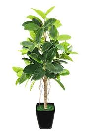 indoor trees that don t need light 5 hard to kill houseplants rubber plant ficus and bright lights