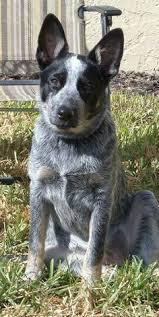 blue heeler x australian shepherd australian cattle dog cross border collie acd blue heeler