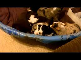 australian shepherd weight 9 weeks australian shepherd puppies 3 weeks old youtube