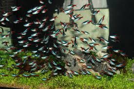 Home Aquarium Popular Home Aquarium Fish Tetras Pethelpful