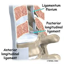 Anatomy Of Vertebral Body Anatomy Thoracic Spine Houston Methodist