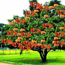 buy saraca asoca sita ashok ashoka tree plant buy