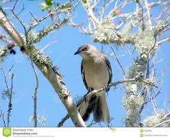 mocking bird on a tree limb stock photos image 2352893