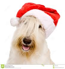 scottish terrier in red christmas santa hat isolated on white b