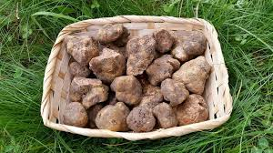where can you buy truffles precious italian white truffles tuber magnatum