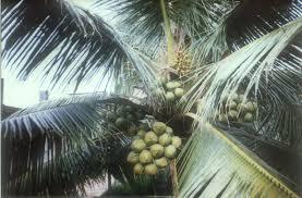 coconut row planting