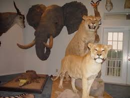 lions for sale taxidermy polar bears cougars lions oh my