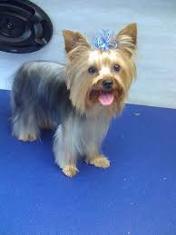 female yorkie haircuts styles short haircuts for yorkies picture dohoaso com