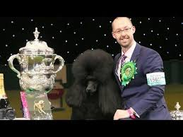 affenpinscher crufts 2016 19 best crufts 2014 images on pinterest standard poodles