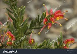 australian native plant names spring bright red yellow flowers grevillea stock photo 59923219