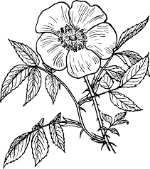 coloring pages of roses and flowers line drawing rose line drawing rose flower line drawing u0026 art
