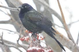 blackbirds archives birds calgary