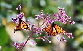 Monarch Migration Map Map No Problems For Monarchs
