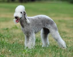 bedlington terrier stud bedlington terrier dog funny puppy u0026 dog pictures
