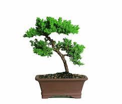 japanese juniper bonsai tree long lived and perfect tree shape