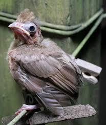Nc Backyard Birds A To Z The Usa North Carolina State Bird