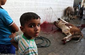 muslims sacrifice cattle in celebration of eid al adha daily mail