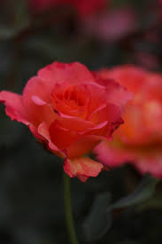 mardi gras roses mardi gras roses sunflower frozenrope photography