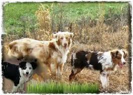 australian shepherd puppies for sale southern california willow aussie miniature toy australian shepherds for sale mini