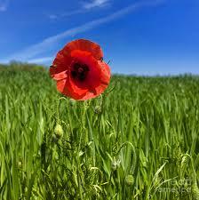 single poppy flower in a field of wheat photograph by bernard jaubert
