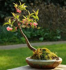 how to grow an almond tree in a pot