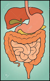 Cartoon Human Anatomy A Colorful Cartoon Depiction Of The Human Digestive System