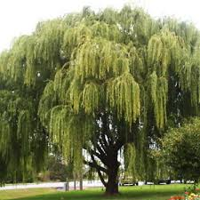 weeping willow salix babylonica tree cuttings 29 cuttings no roots