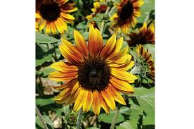 firecracker f1 sunflower seed johnny s selected seeds