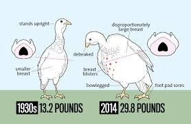 look how much bigger thanksgiving turkeys are today than in the