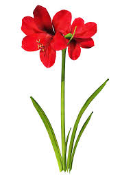 Amaryllis Flowers Amaryllis Flower Cliparts Free Download Clip Art Free Clip Art