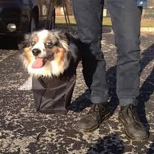 lonesum d australian shepherds 17 pictures that prove dogs are just meant to be carried not walked
