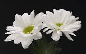 white flower white flower picture savingourboys info