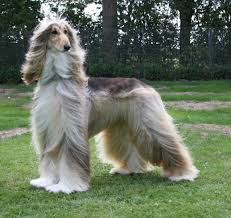 afghan hound 9 months afghan hound beauty lovely youtube