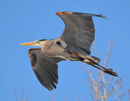 heron meaning pilot knob oȟéyawahe pilot knob preservation association