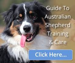 australian shepherd growth chart new puppy care