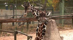 denver zoo visitors can now feed the giraffes fox31 denver