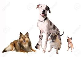 different breeds of dogs like chihuahuas great dane sheltie