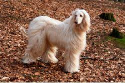 owning an afghan hound afghan hound miracle paws