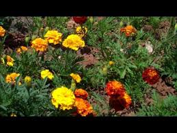 how to grow marigolds from seed youtube